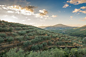 dawn on a landscape of olive trees