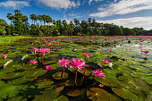 Dawn on the lake with lotuses.