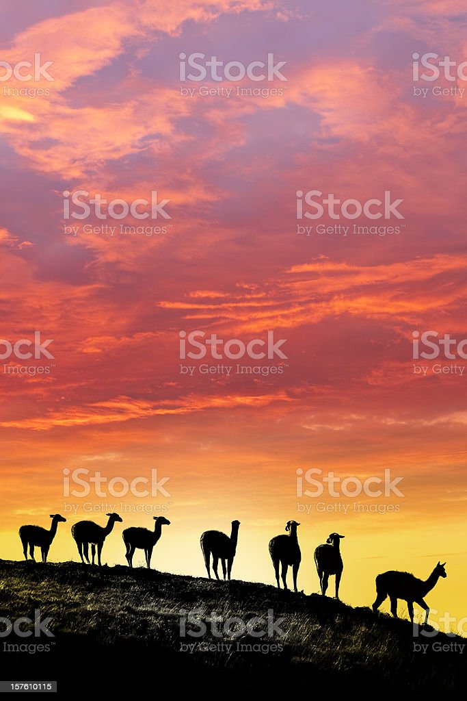 Dawn over guanacos in Argentina Patagonia royalty-free stock photo