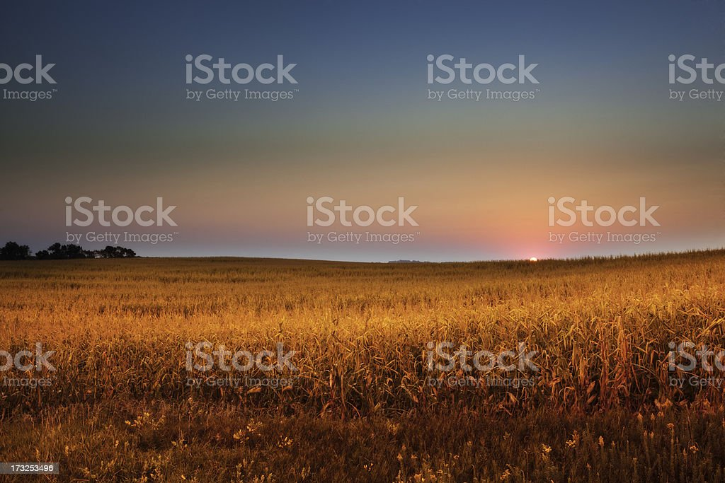 Dawn Over Midwest Cornfield at Golden Harvest royalty-free stock photo