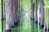 dawn redwood closeup