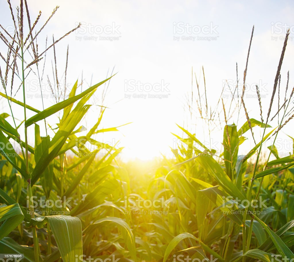 Dawn sun through a cornfield royalty-free stock photo