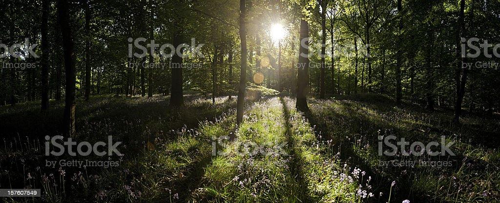 Dawn sunlight flaring through idyllic wilderness forest vibrant summer panorama royalty-free stock photo