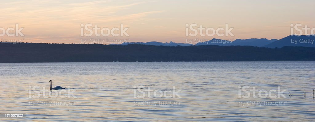 Dawn with swan royalty-free stock photo
