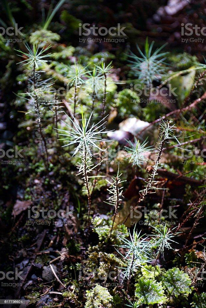 Dawsonia superba, The World's Tallest Moss stock photo