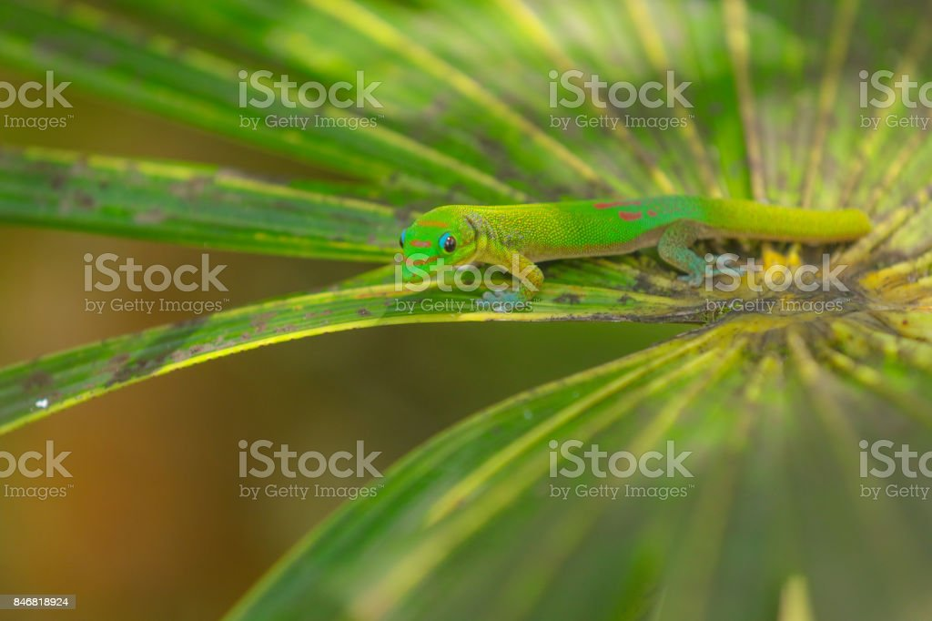 Day gecko on Huge jungle leaf stock photo