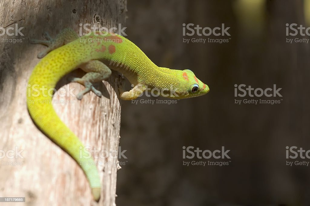 Day Gecko stock photo