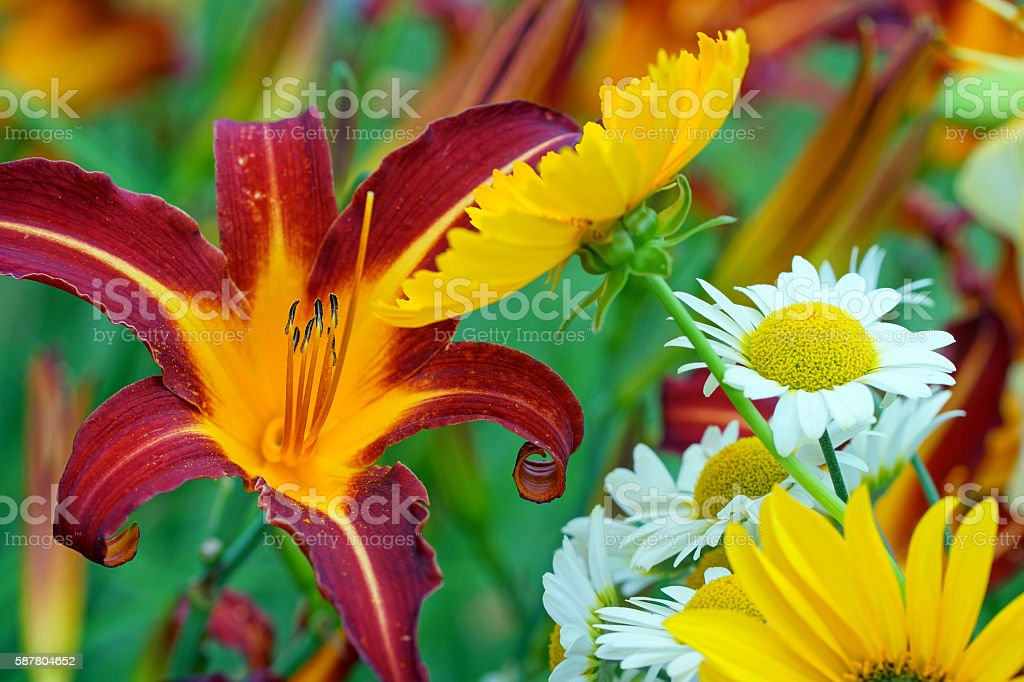 Day lilies, lily, echinacea and yellow cotula stock photo