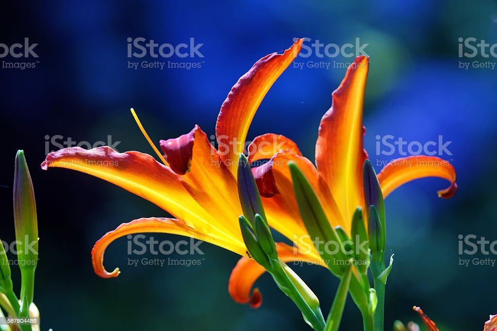 Day lilies stock photo