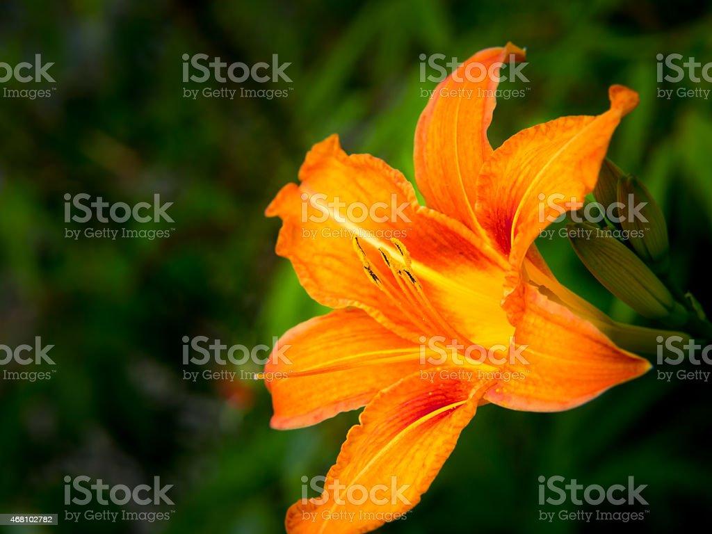 day lily (hermerocallis) stock photo