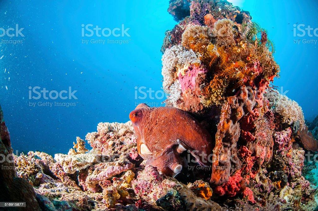 Day Octopus cyanea, Gili, Lombok, Nusa Tenggara Barat, Indonesia underwater stock photo