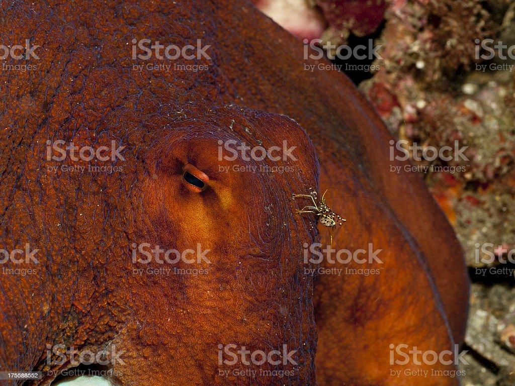 day octopus - octpus cyanea & Cleaner Shrimp Urocaridella antonbrunii stock photo