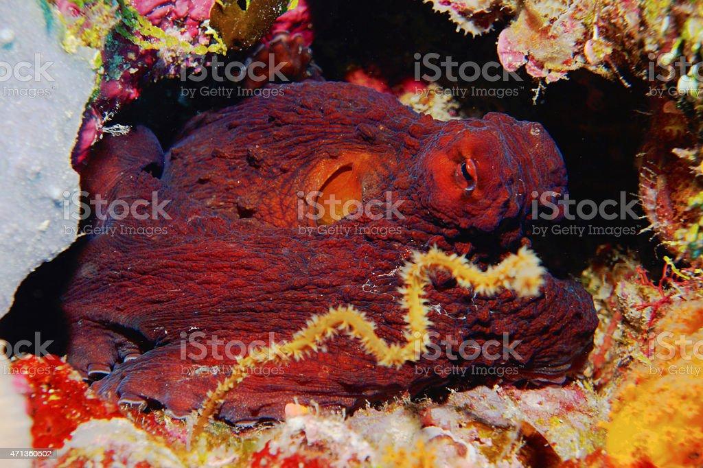Day Octopus on Wakatobi Reef stock photo