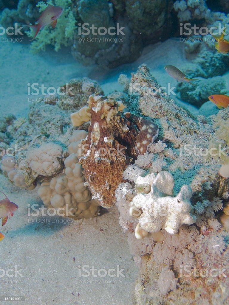 Day Octopus (Cyanea) stock photo