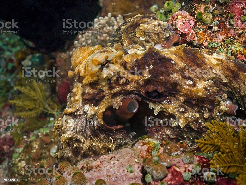 Day Octopus, Riffoktopus (Octopus cyanea) stock photo