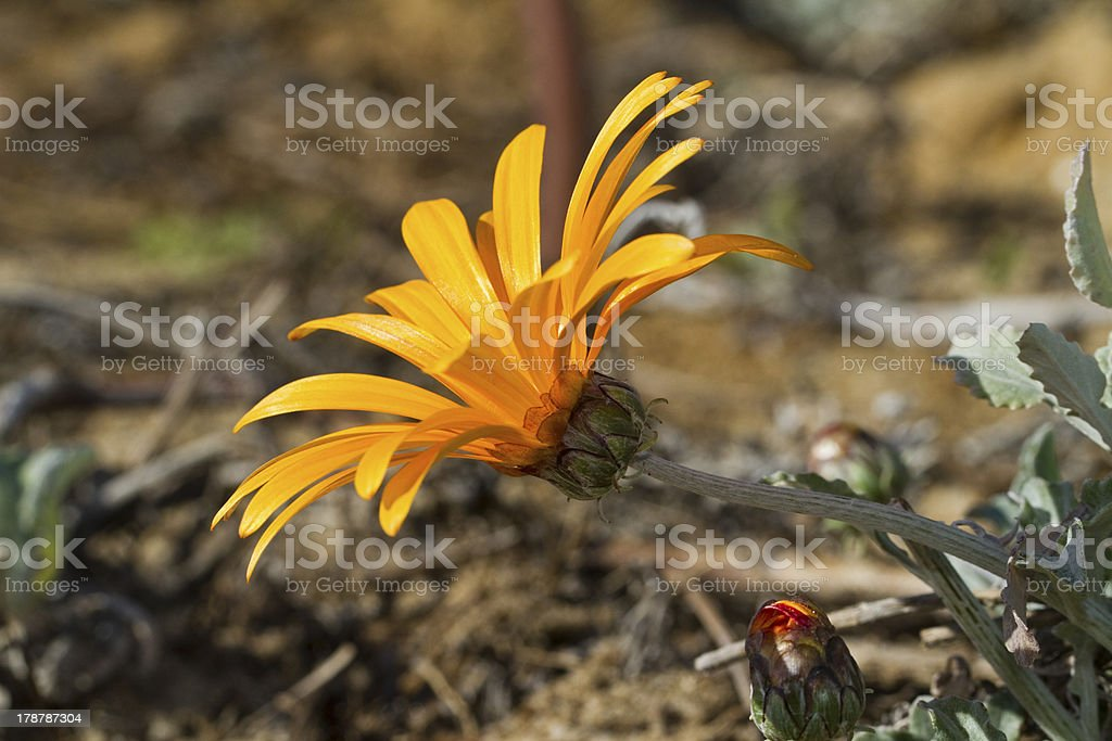 Daybreak Red Stripe Gazania (Gazania rigens) royalty-free stock photo
