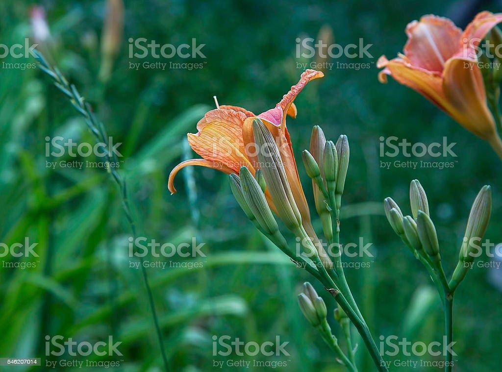 Daylilies flowers stock photo