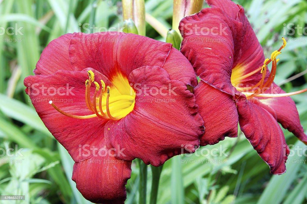 Daylilies royalty-free stock photo