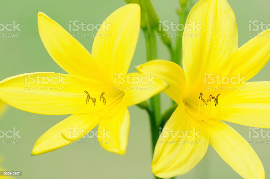 daylilies stock photo