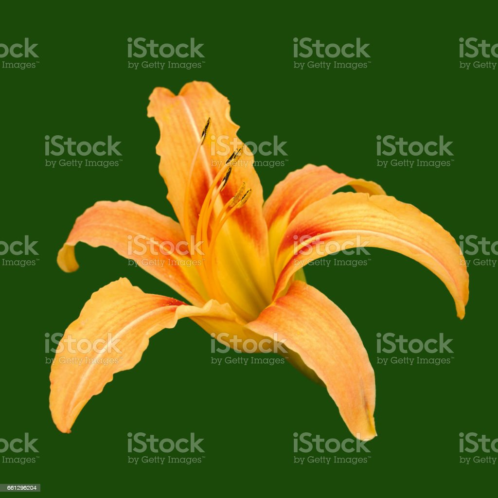 Daylily flower head isolated green stock photo