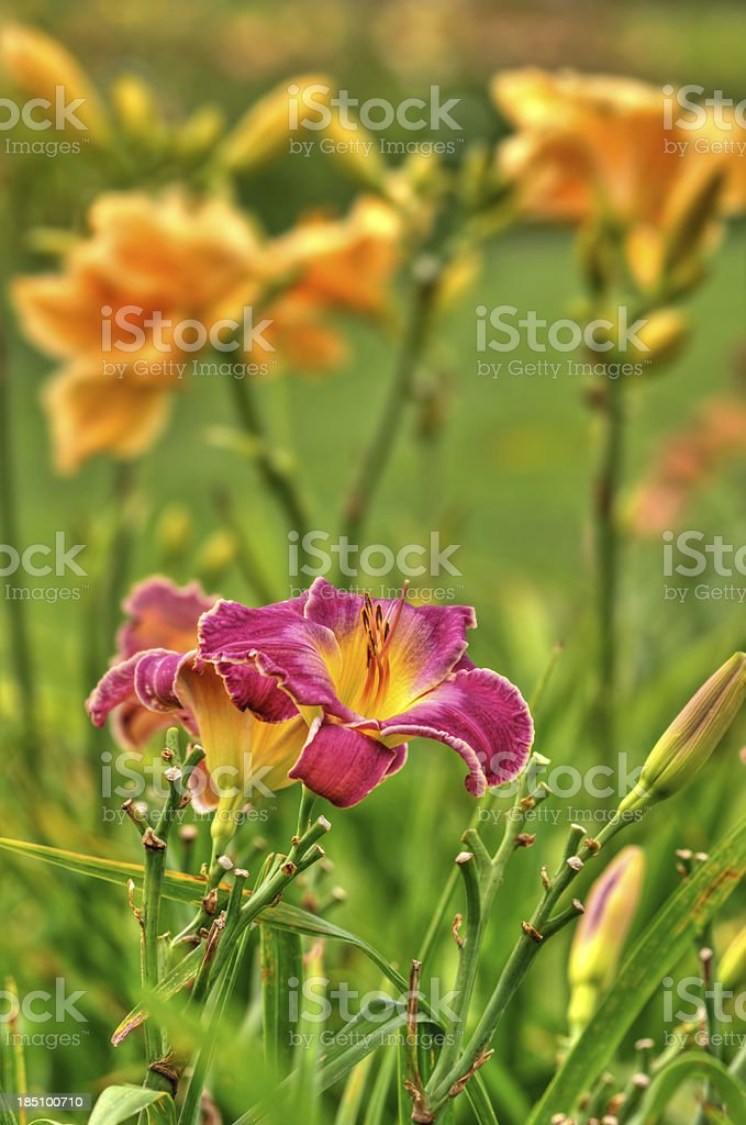 Daylily flowers (HDR) - VIII stock photo
