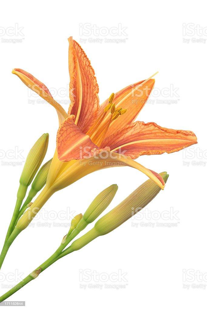 daylily (hemerocallis) isolated on white stock photo