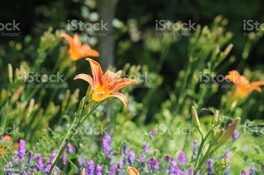 Daylily, Orange (Hemerocallis fulva) stock photo