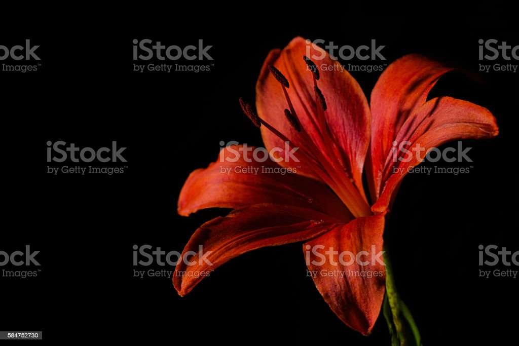 Daylily stock photo