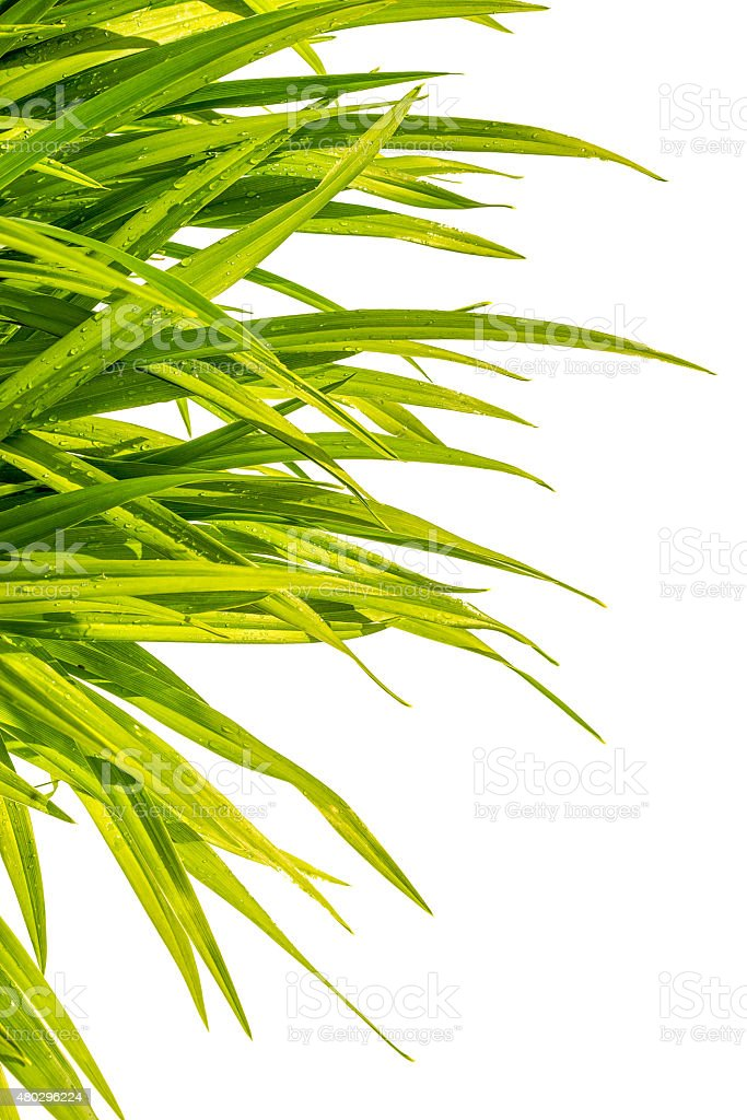day-lily wet green grass isolated on white background stock photo