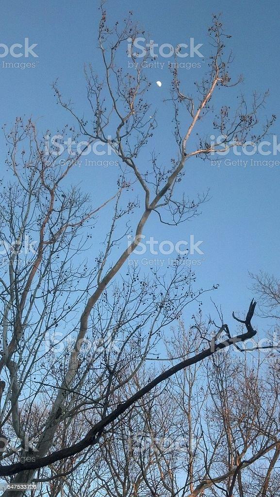 Daytime moon peeking through a bare tree stock photo