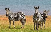 Dazzle of Zebras on the shore of Lake Kariba