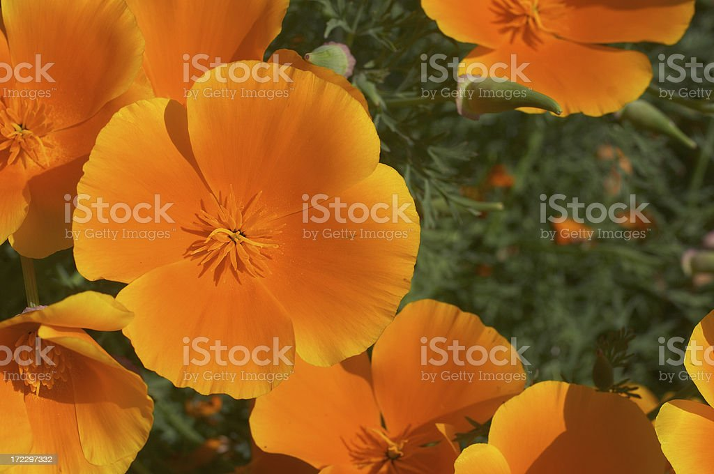 Orange California poppies Eschscholzia californica hit the rays royalty-free stock photo