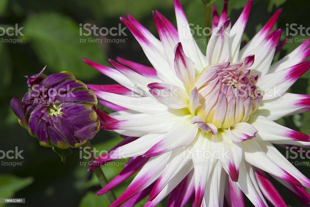 Dazzling Dahlia flowers royalty-free stock photo