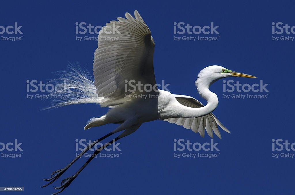 Dazzling Egret royalty-free stock photo