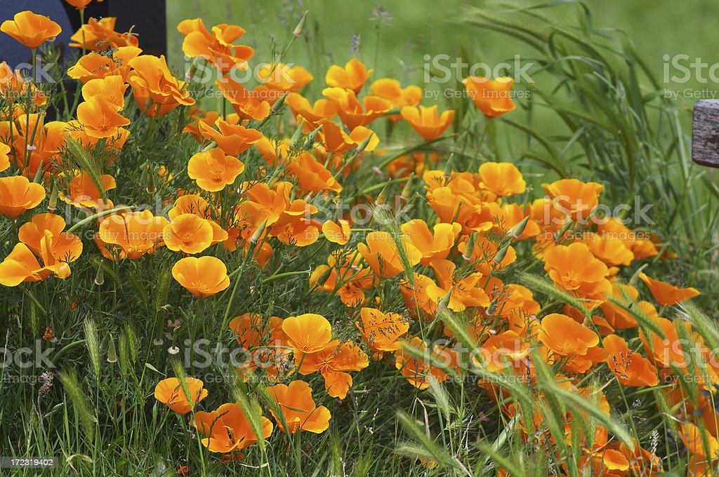 Orange summer California poppies Eschscholzia californica royalty-free stock photo