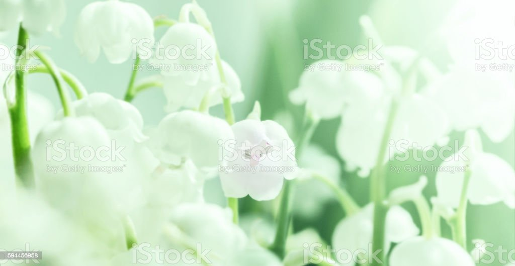 Ddelicate lily of the valley stock photo