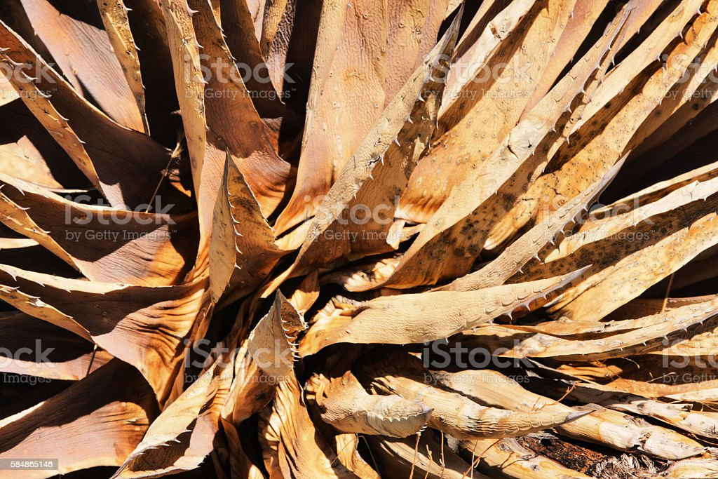 Dead Agave Plant Leaves stock photo