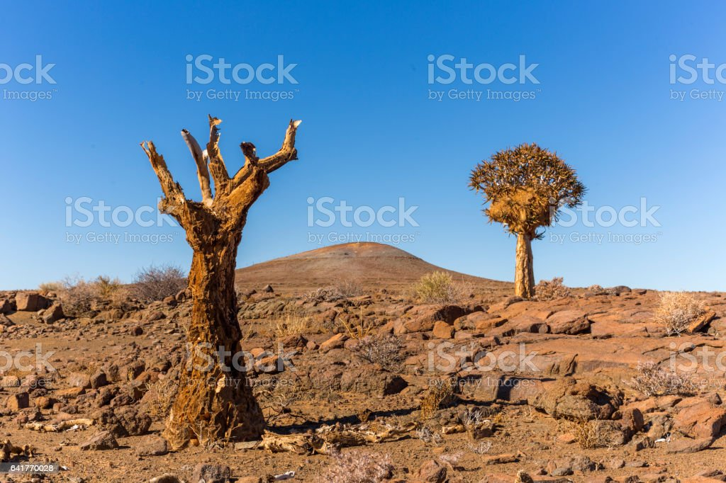 Dead and alive quiver tree stock photo