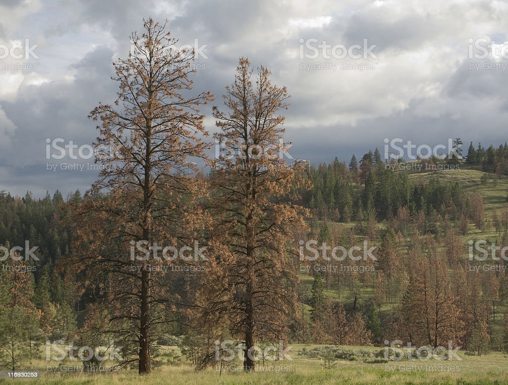 Dead and red pine trees, killed by beetle stock photo
