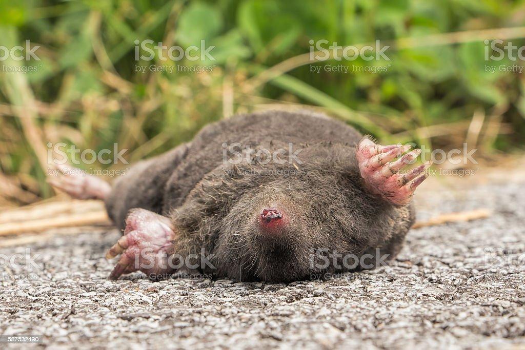 Dead animal, carcass, mole stock photo