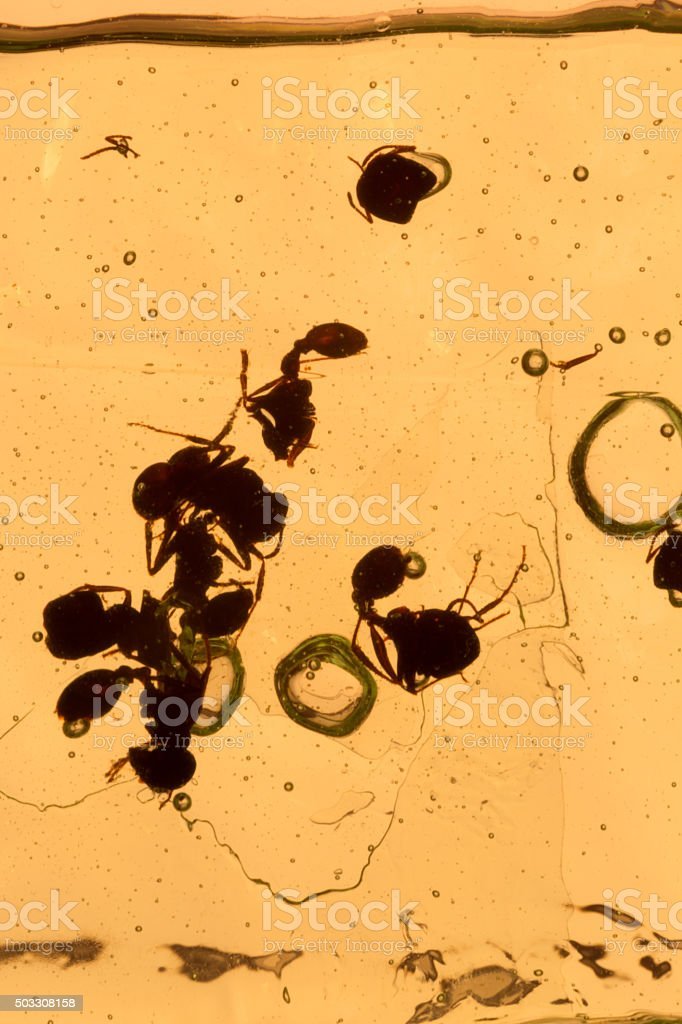 dead ant insect preserved in resin macro stock photo