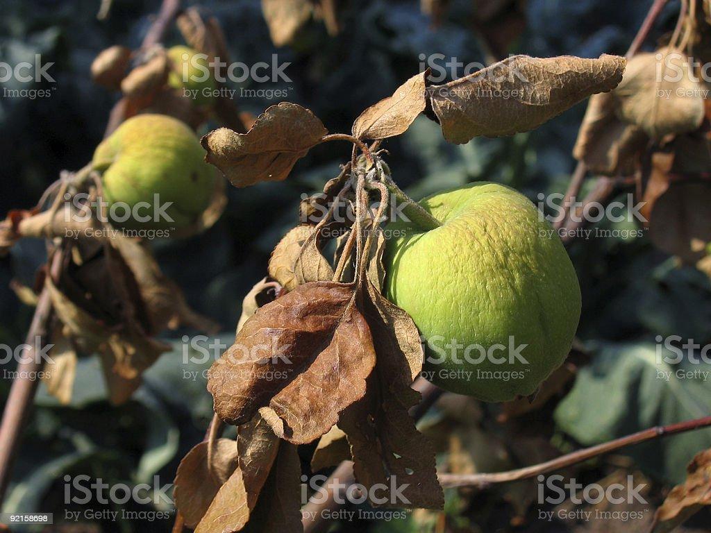 dead apples stock photo