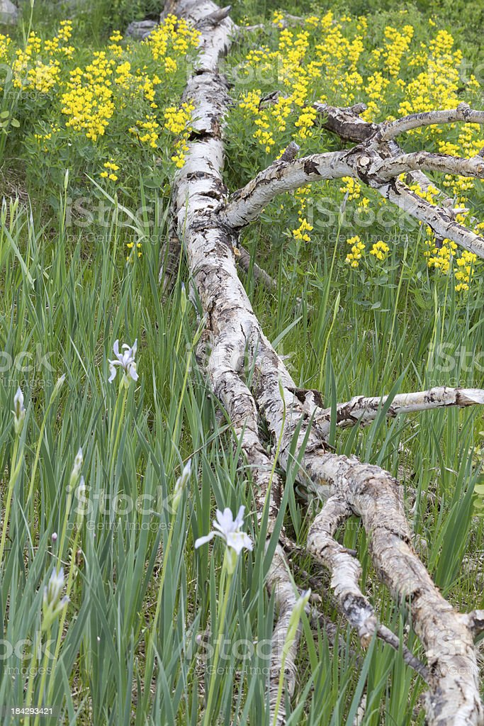 Dead aspen tree among wildflowers royalty-free stock photo