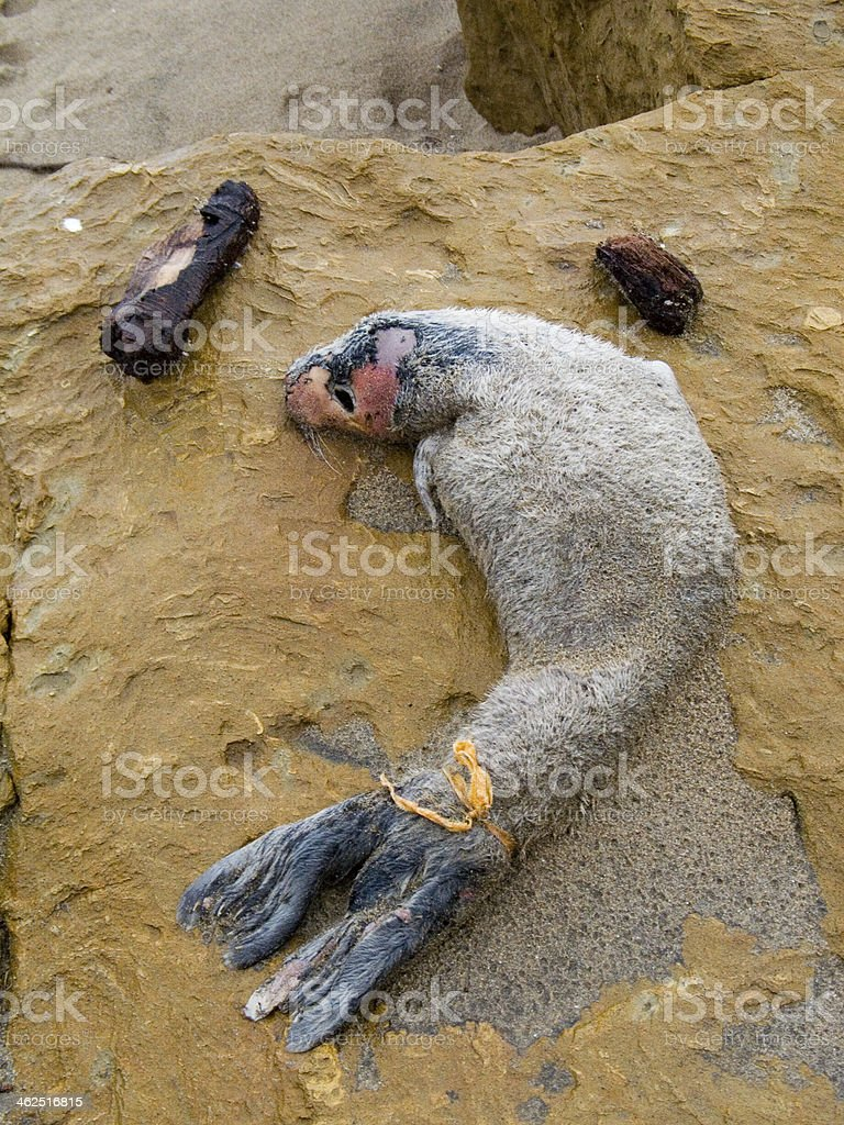 Dead Baby Seal Pup stock photo