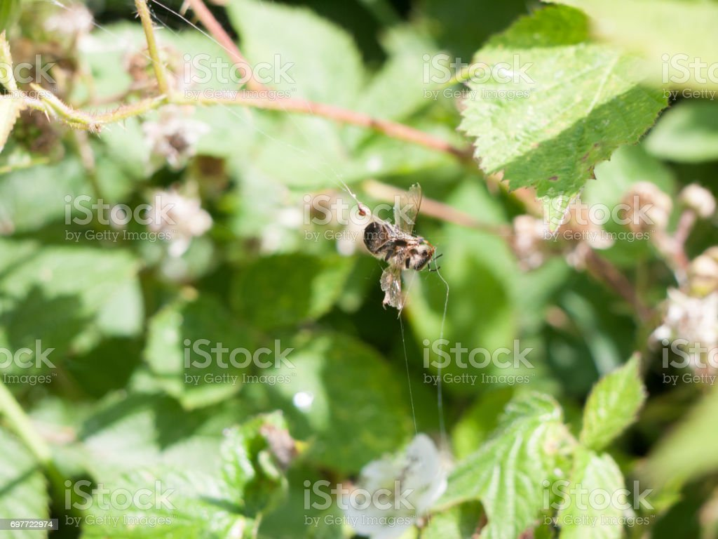 dead bee caught in web stock photo