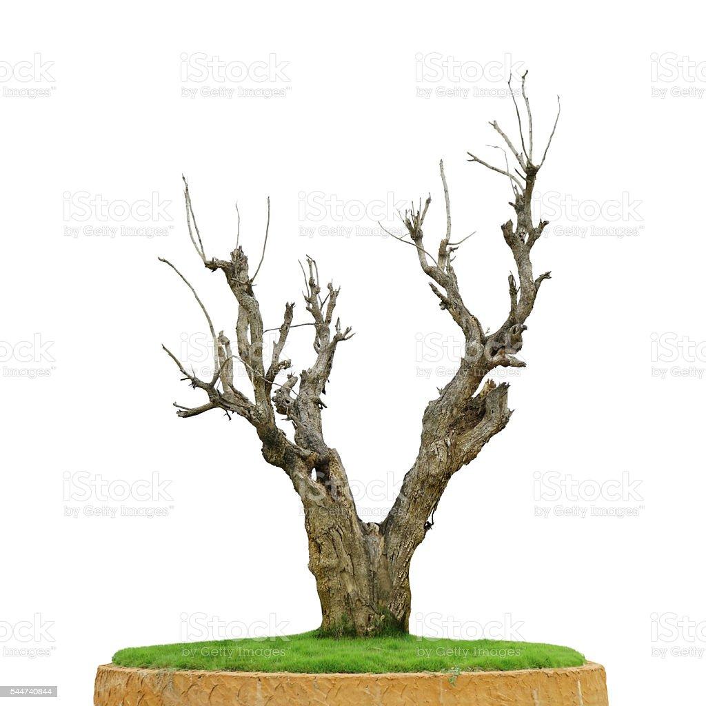 Dead big wood tree stock photo