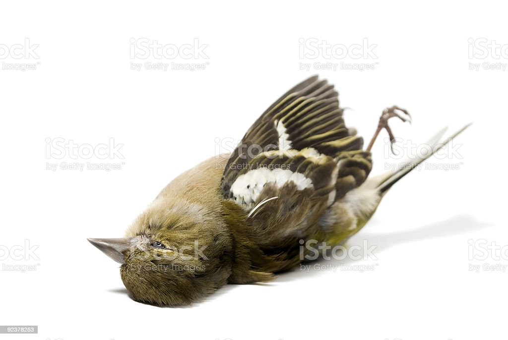 dead bird on white stock photo