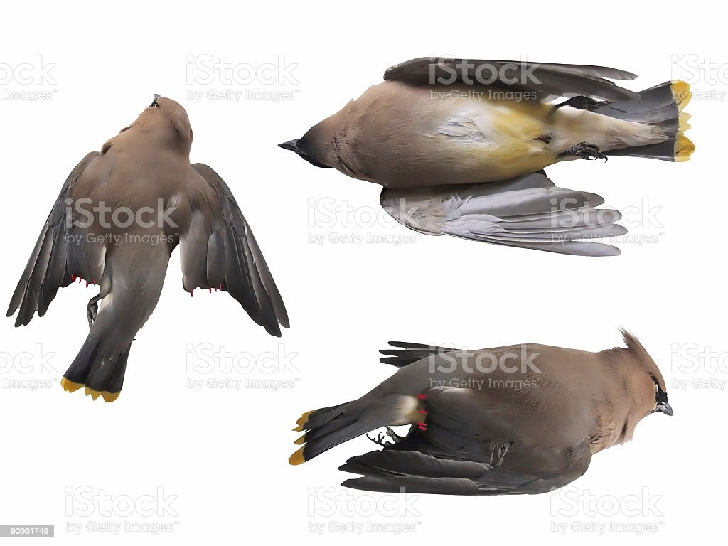 Dead Bird (Isolated) royalty-free stock photo