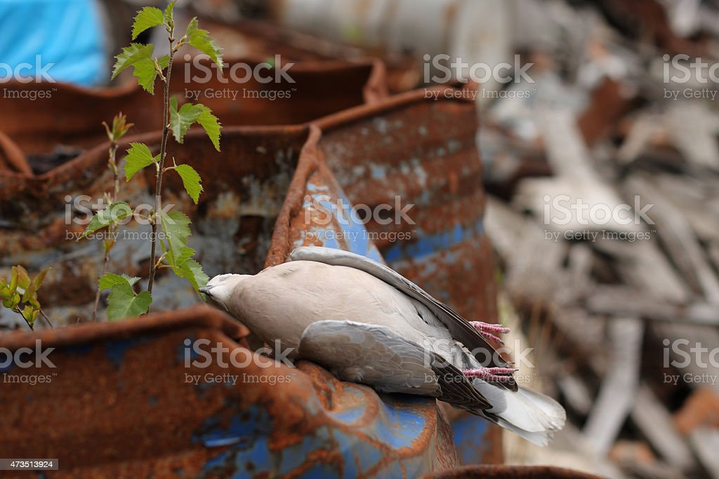 Dead bird Turtle-Dove on barrel with toxic chemical waste. stock photo