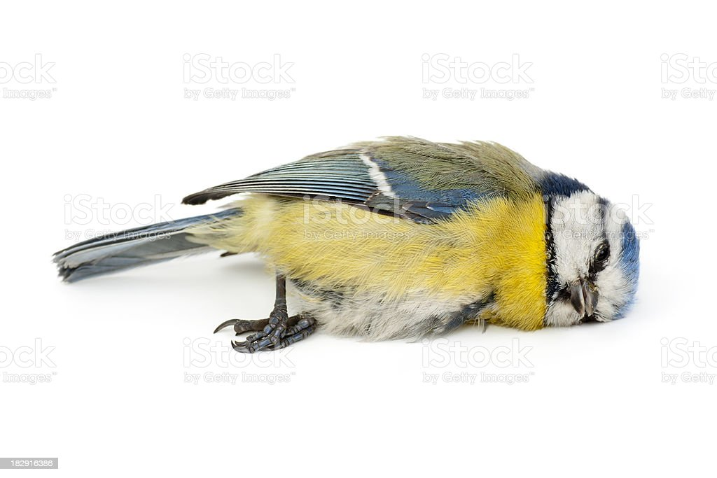Dead Blue Tit (Cyanistes caeruleus) stock photo